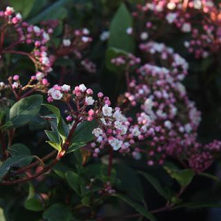 http://www.thenurseries.com/viburnum-tinus-lisa-rose-litre-p-3972.html