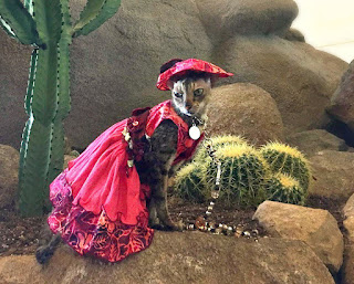 Coco, the Cornish Rex, posing for photos at BlogPaws, photo by Shelly Habel