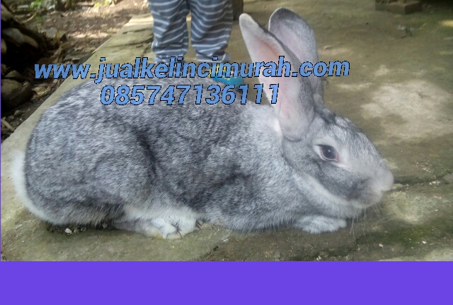 Hasil Persilangan Kelinci - Pure Breed - Backcross Import