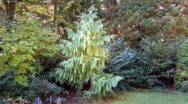 Кипарисовик нутканский на фоне лиственных деревьев
