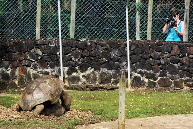 Tortugas gigantes de Mauricio copulando
