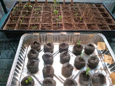 trays of seedingls