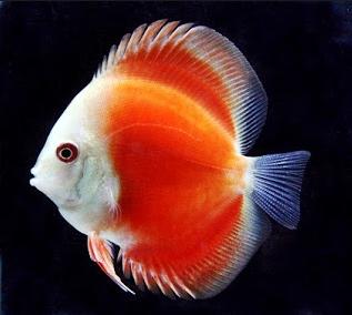 discus  Ikan Hias Paling Populer