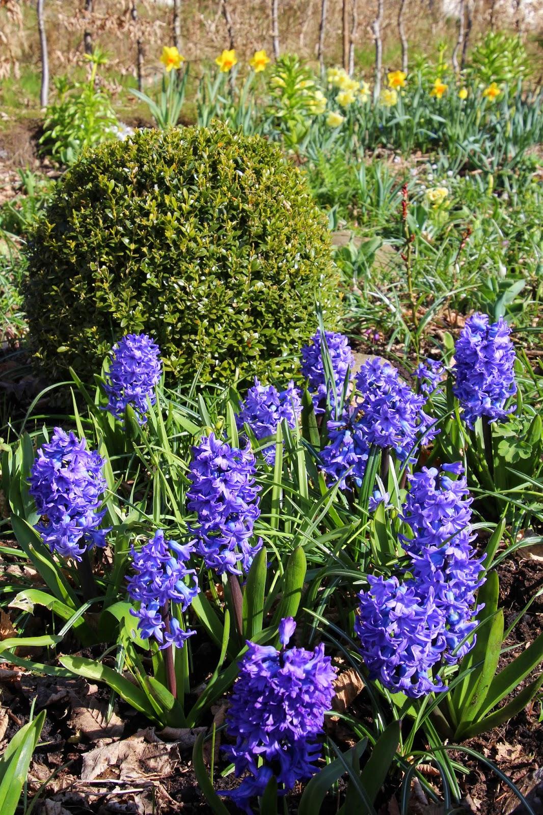 hyacint akvarell carolin zander