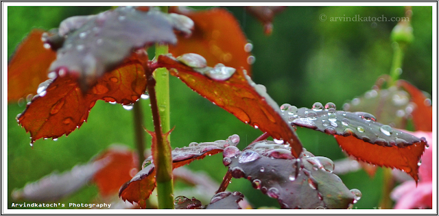 rain drops, rose, leaves, rose plants, Rain, water drops