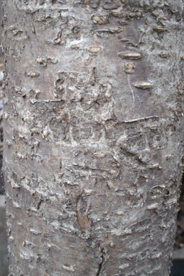 Japanese tree lilac Syring reticulata Ivory Silk bark detail by garden muses: a Toronto gardening blog