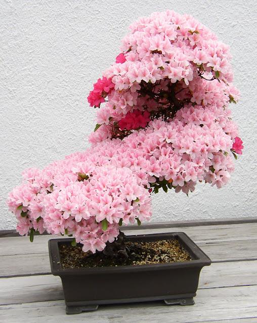 10 Pohon Bonsai Paling Indah