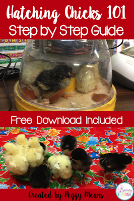 Hatching chicks in the classroom 101: Tips and Resources.  Hatching chicks in the classroom is probably my favorite activity every year! Not only is it a wonderful hands-on life science lesson, hatching chicks in the classroom also creates the perfect stage for you to teach concepts across the curriculum because your students are so engaged!  You can use this engagement for teaching content standards in science, math, reading, writing and art.