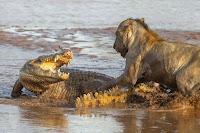 Croc vs Lion