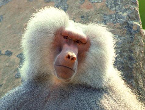 Cute Wombat Wallpapers Cute Funny Animalz Funny Baboon Monkeys