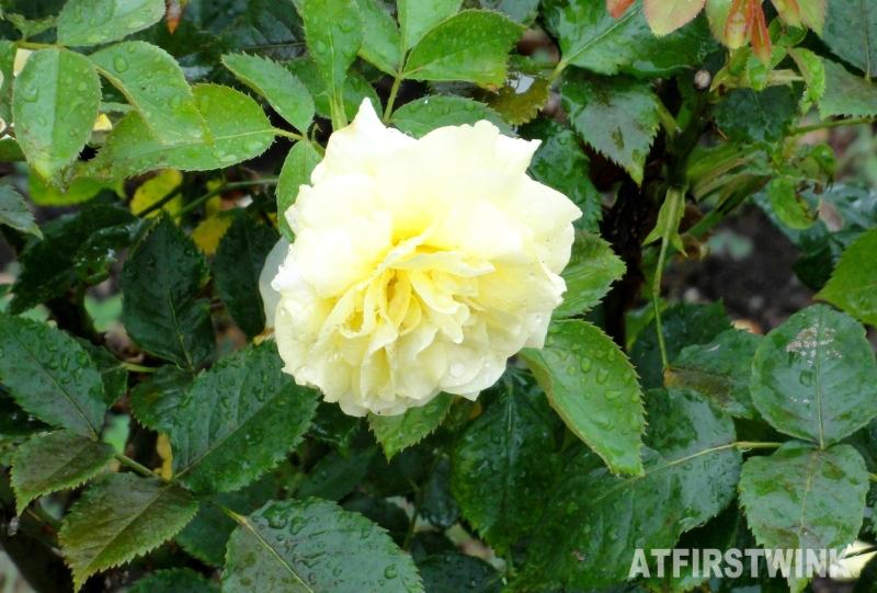 Shinjuku Gyoen 新宿御苑 yellow rose