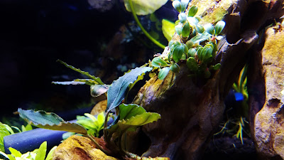 Bucephalandra mini coin and wavy green in betta planted tank
