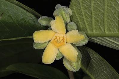 โมกพะวอ โมกถิ่นเดียวของไทย ศาลพะวอ อ.แม่สอด จ.ตาก ดอกมีกลิ่นหอมอ่อน