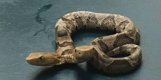 Seekor ular berbisa berkepala dua ditemukan merayap di sebuah taman di Virginia, Amerika Serikat, pekan lalu.