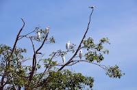 Ibisse - ibis