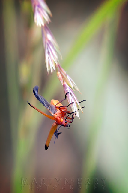 Macro image of a soldier beetle pre-flight at Ouse Fen Nature Reserve