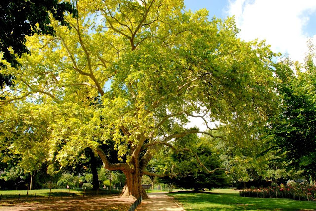 parijse parken, groen in parijs, oude esdoorn parijs,