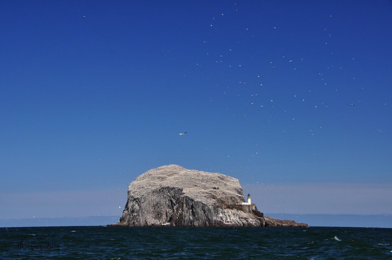 Największa na świecie kolonia głuptaków.                      Oto Bass Rock w Szkocji.