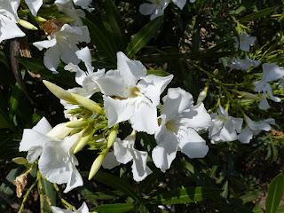 Laurier rose - Oléandre - Nerium oleander