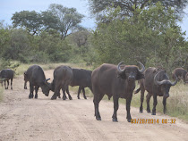 Cape Buffaloes, near Skukuza Camp, Kruger National Park, South Africa