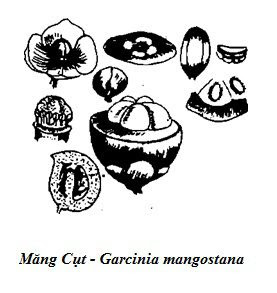 Hình vẽ Măng Cụt - Garcinia mangostana - Nguyên liệu làm thuốc Chữa Bệnh Đi lỏng-Đau Bụng