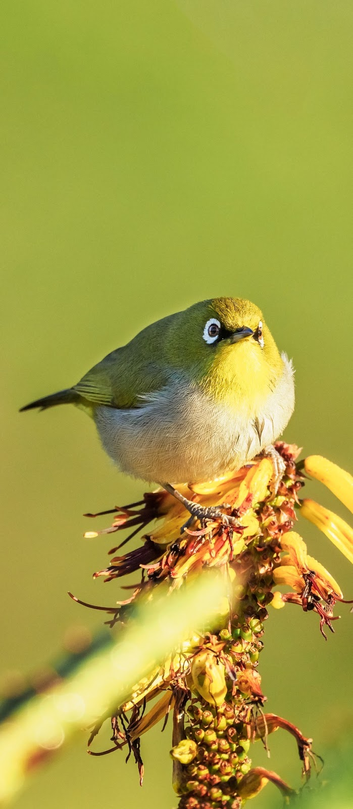 Picture of a cape white-eye bird.