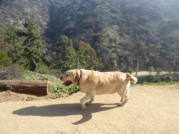 Labrador Cooper hiking Runyon Canyon