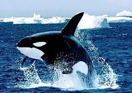 Orca Orcinus orca