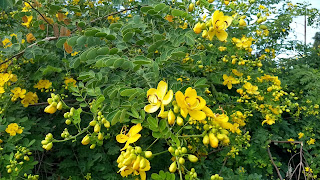 Senna Bicapsularis (christmas bush) legume tree shrub yellow flowers louisiana