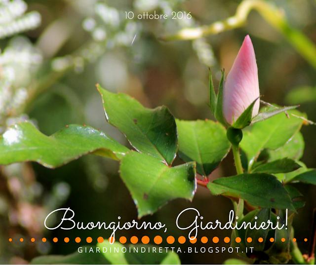rosa astronomia - l'agenda del giardino e del giardiniere - un giardino in diretta