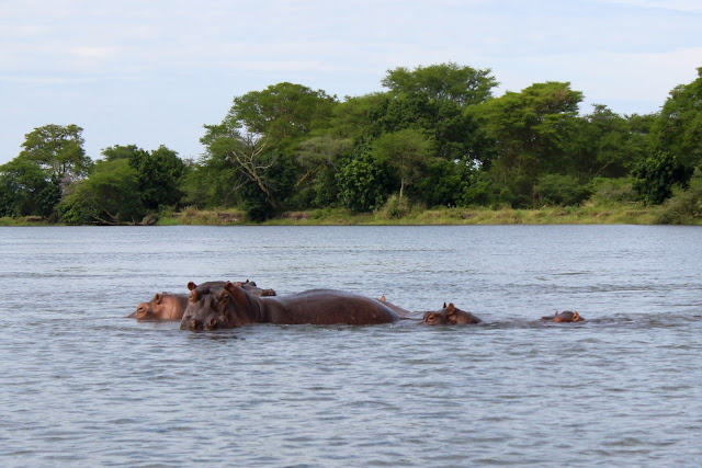 Hippos watching the boat - on safari in Liwonde National Park