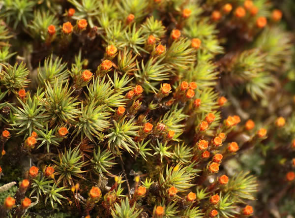Polytrichum juniperinum - Juniper Hair cap moss