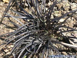 Ophiopogon noir - Ophiopogon planiscapus 'Nigrescens'