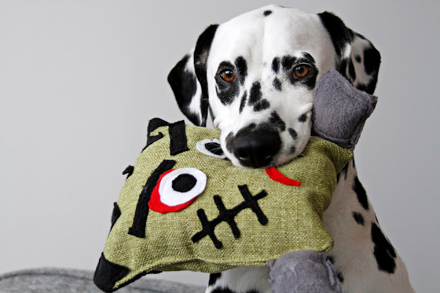 Dalmatian dog holding a homemade stuffed Frankenstein Halloween dog toy in his mouth