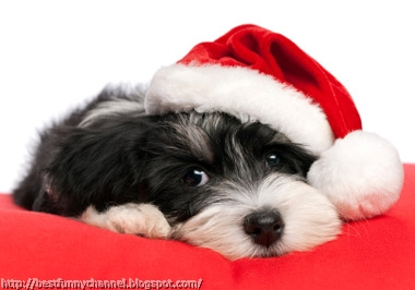 Sweet Christmas puppy.