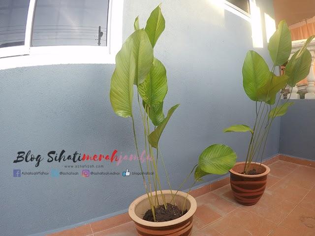 Calathea Lutea Plant Serikan Laman Rumah