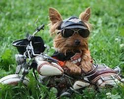 cãozinho motoqueiro