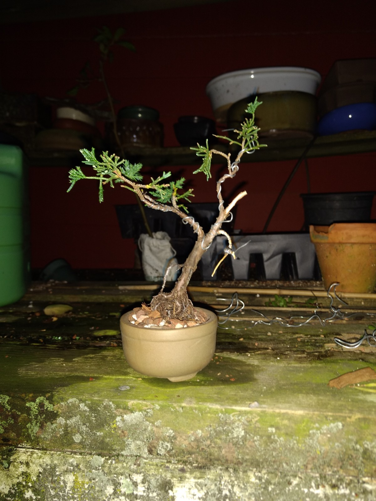 Ancient Art Bonsai Wiring Time The Decision Was Made To Wire Everything And Add Some Curves All Straight Growth Pinching Took Places At Same Shortened