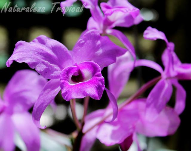 Flores de la especie Guarianthe skinneri