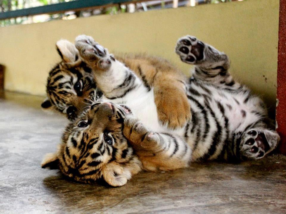 Foto Anak Harimau Yang Lucu Dan Menggemaskan