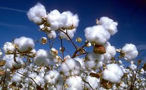 Agri commodity calls, Agri Commodity Tips, Chana Tips, Free  Commodity Tips, Free Agri Tips, MCX Tips Services, Cotton Tips,