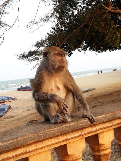 Monyet di Pantai Teluk Cempedak Tarik Perhatian Pengunjung