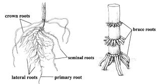 Agricultural Science Base: Morphology of Corn