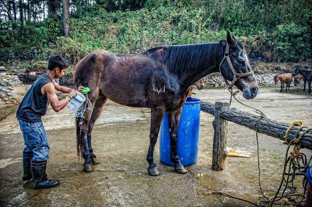 Photo documenting equine horse grooming is best candidly.