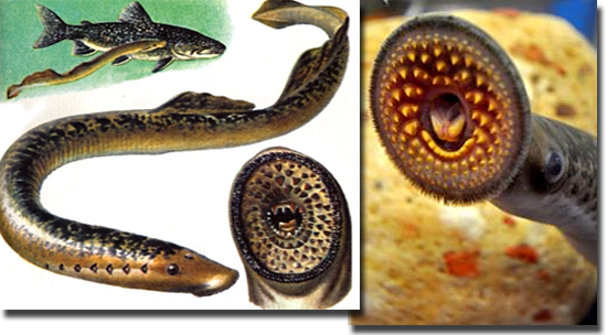 5 terríveis animais de água doce - Lampreia