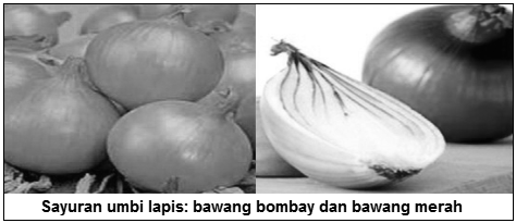 Sayuran umbi lapis - bawang bombay - Sayuran umbi lapis (bulb vegetables) - Jenis Sayuran Berdasarkan Bagian Tanaman yang Dimakan