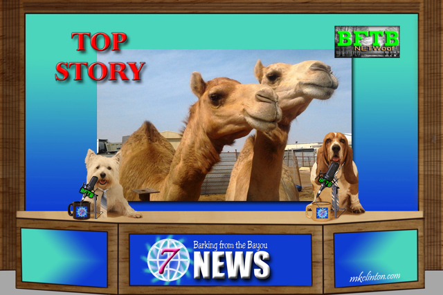 BFTB NETWoof News on camels being disqualified for using Botox