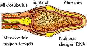 Bagian-bagian sel sperma