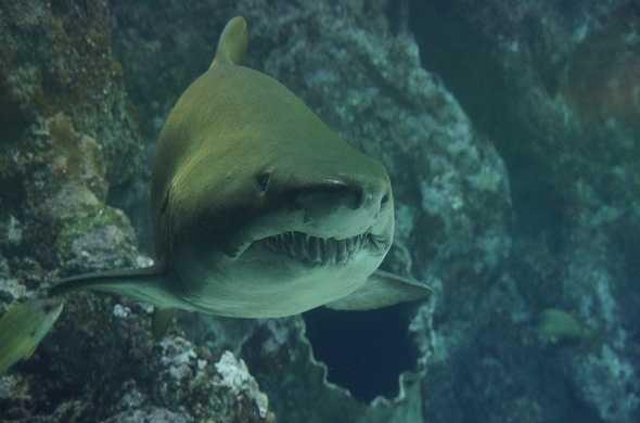 shark-سمك-قرش