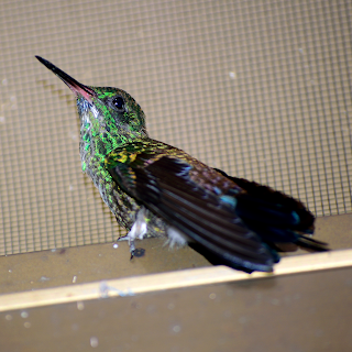 hummingbird trapped in house